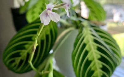 What is the Cause and Controversy of Variegated Houseplants?