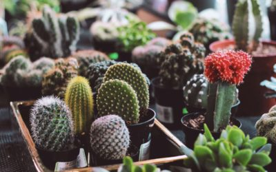 7 Reasons Cacti are Fascinating, Easy Houseplants