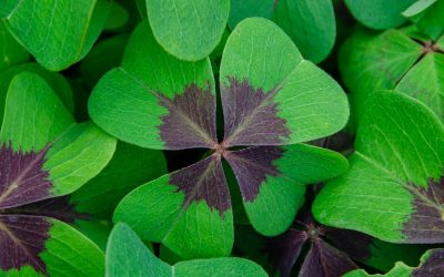 Digging into the Weedy, Wonderful World of Oxalis, or False Shamrock Plants