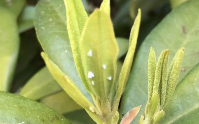 How to Identify and Get Rid of Whiteflies