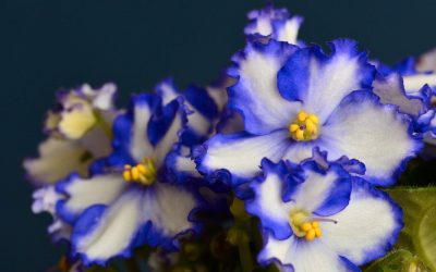 All About Amazing African Violet Varieties (Sizes, Colors, and Shapes!)
