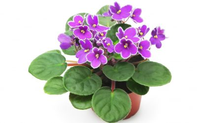 How to Care for African Violets (and Get Them to Bloom)