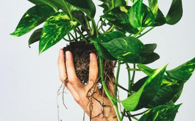 How to Care for Pothos, the Nearly Perfect Houseplant