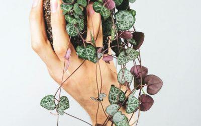 All About the Variety, Care, and History of the String of Hearts Plant