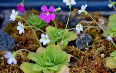 How to Grow Tropical Pinguiculas, the Fungus Gnat Eaters of the Plant World
