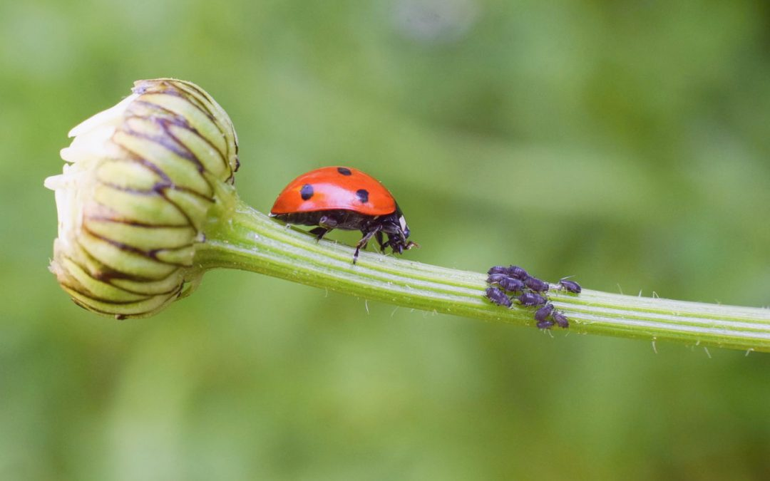 Beneficial Insects: How to Control Houseplant Pests Using Good Bugs